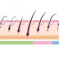 毛の断面図のイラスト